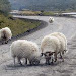 Lampaita tiellä nuolemassa suolaa